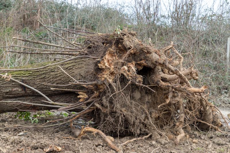 Uprooted tree. A tree uprooted by the wind, fallen to the ground and with its roots uncovered royalty free stock photography