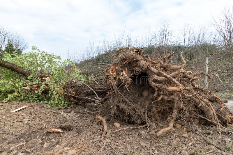 Uprooted tree. A tree uprooted by the wind, fallen to the ground and with its roots uncovered stock photos