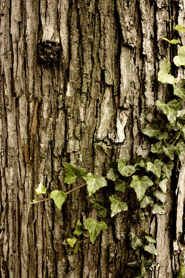 Tree and Vine royalty free stock photography