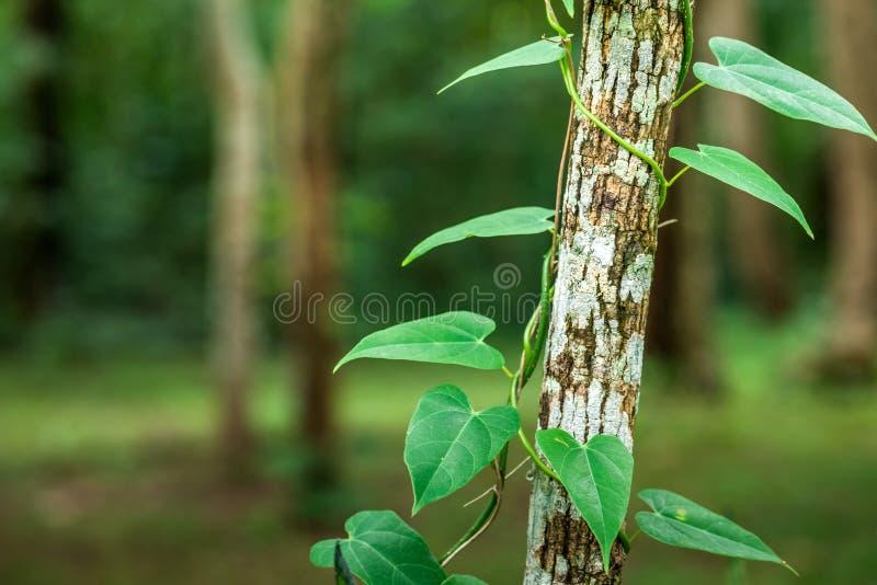 tree and vine stock photo