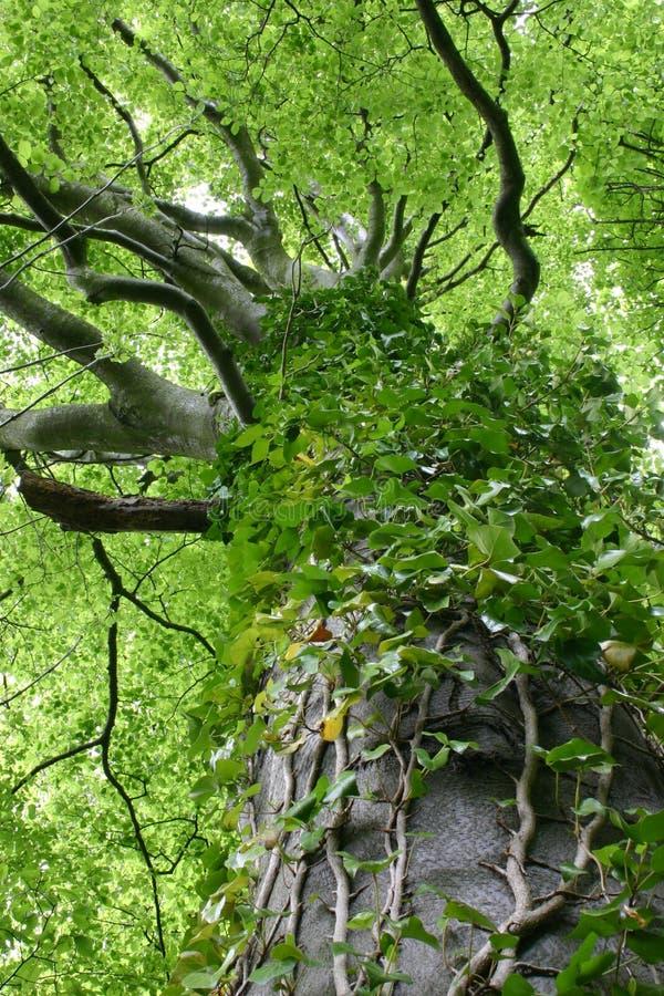 Tree Vine stock image