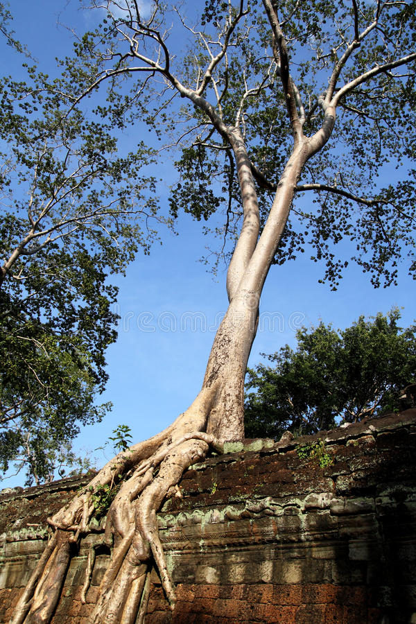 Download Tree on Wall at Preah Khan stock photo. Image of cambodian - 19014610