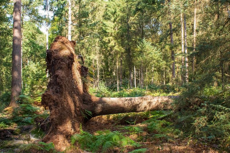 Tree was uprooted after a storm. This tree was uprooted after an autumn storm. The tree is now in the forest and is illuminated by sunbeams stock image