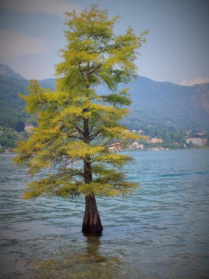 Tree in the water of Lago Maggiore in the Italian Alps royalty free stock photo