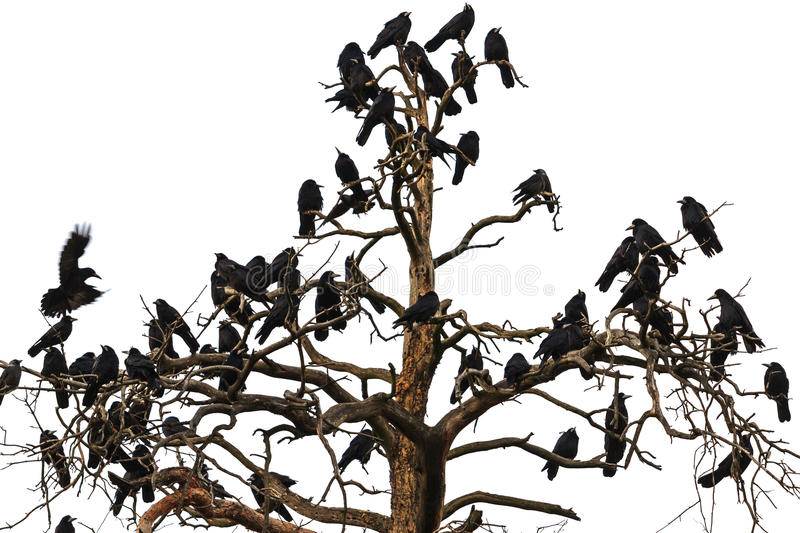 Tree which beset Ravens. Tree which beset crows, birds of Odin, Norse mythology, sagas,Corvus frugilegus royalty free stock image