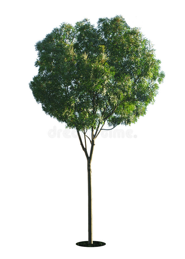 A tree with a white background no10. A tree with a white background royalty free stock photos