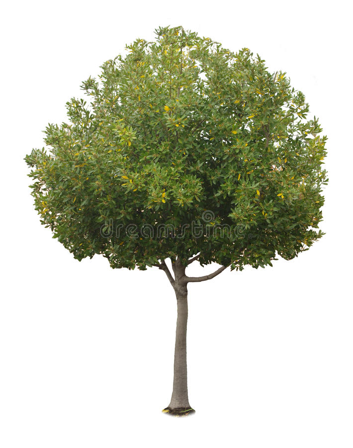 A tree with a white background no12. A tree with a white background stock photos