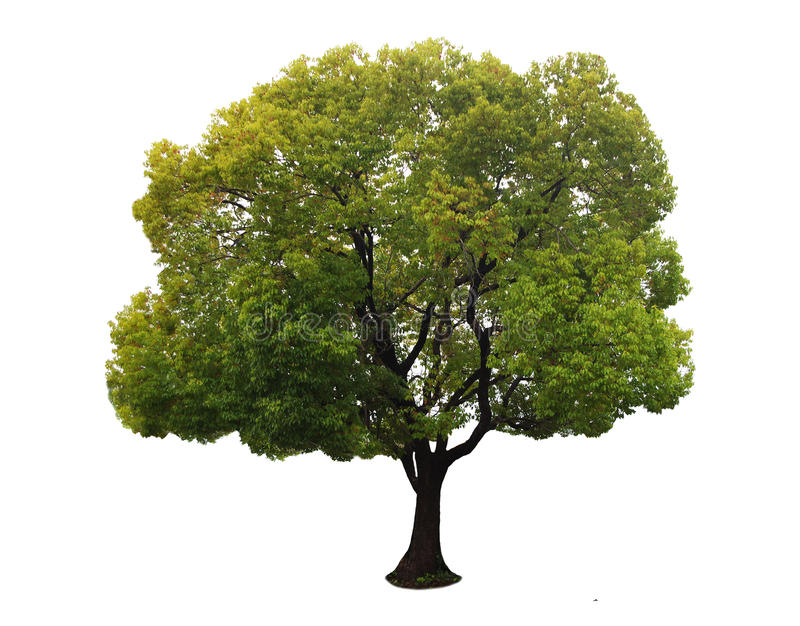 A tree with a white background no14. A tree with a white background royalty free stock photos