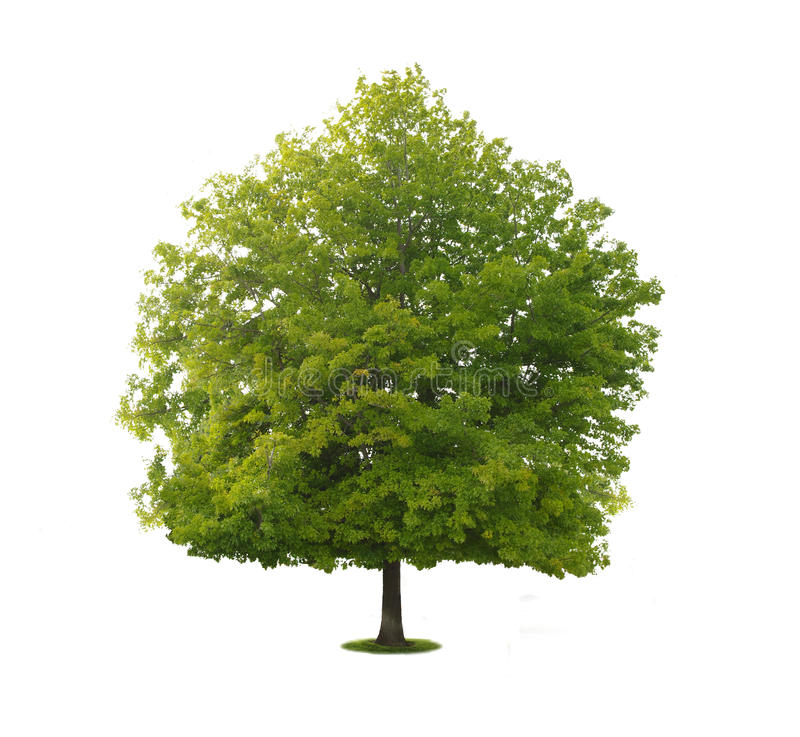 A tree with a white background no5. A tree with a white background stock photography