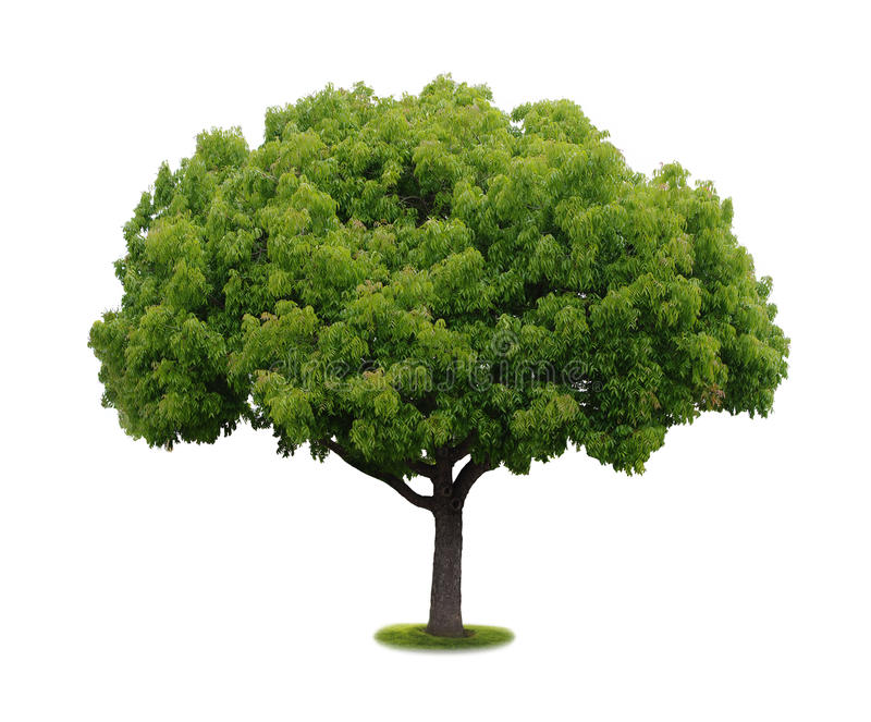 A tree with a white background no6 royalty free stock photography