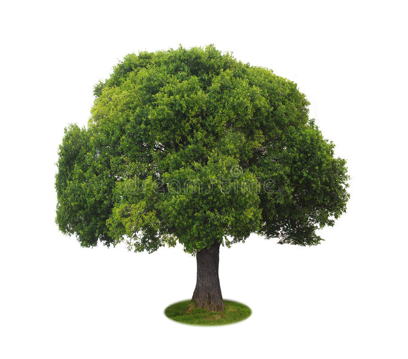 A tree with a white background no7. A tree with a white background royalty free stock image