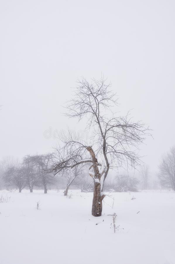 Lone tree in snow. A tree in white snow stock images