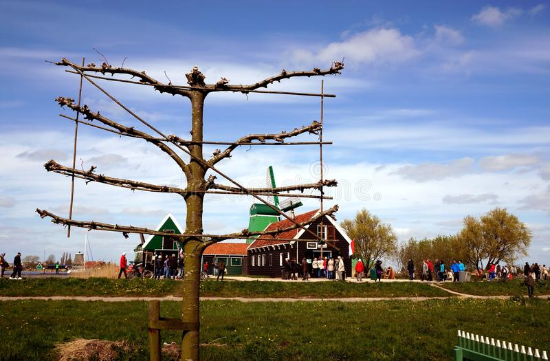 A tree. And windmill in Zaanse Schans ethnographic museum in Netherlands stock image