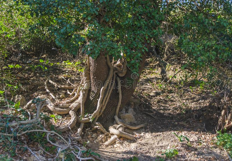Tree wrapped in a liana. Old tree wrapped in a liana in the forest royalty free stock image
