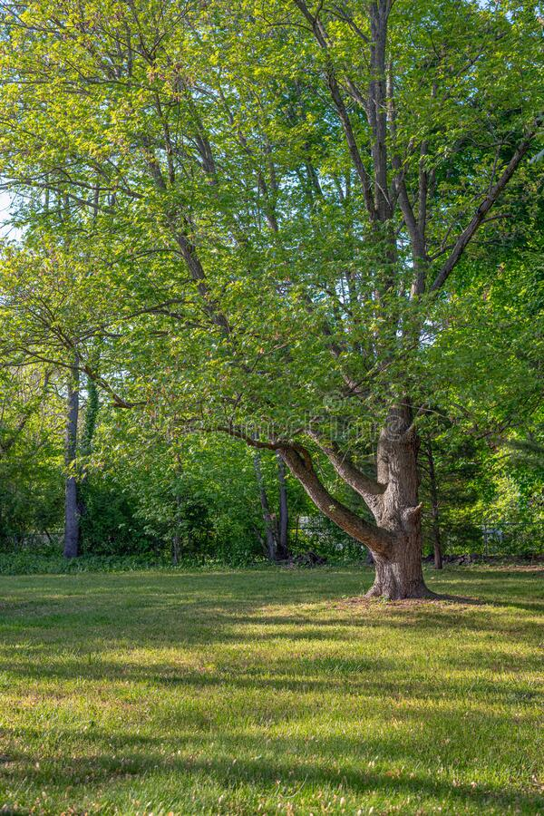 Tree in the Yard royalty free stock photos
