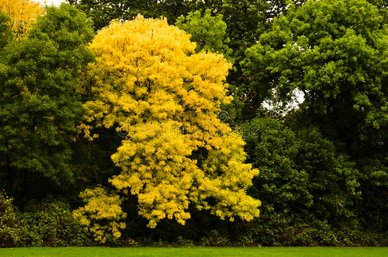 A tree with yellow coloured leaves in a line of green trees in autumn. In a park royalty free stock photos