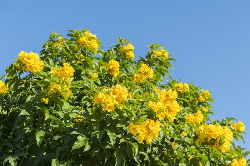 Tree with yellow flowers against the blue sky. tree of gold branches with yellow flower against blue sky background stock image