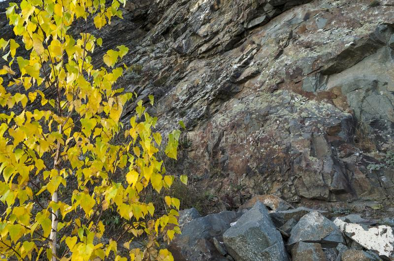 Tree with yellow leaves against the rocks royalty free stock images