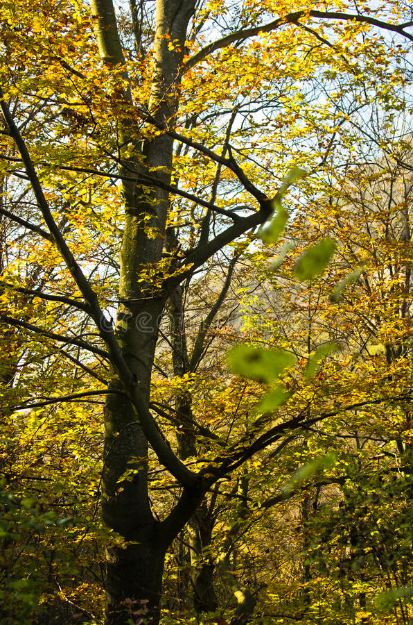 Tree with yellow leaves in a forest on a sunny autumn day stock photo