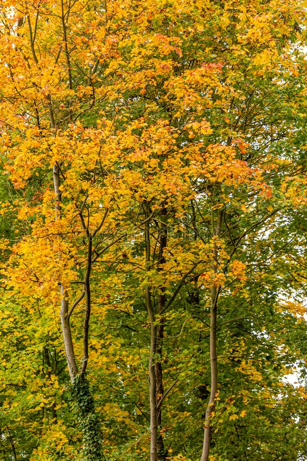 Tree with yellow, orange, golden and green leaves on its branches. Day at the beginning of the autumn in South Limburg, Netherlands Holland royalty free stock image