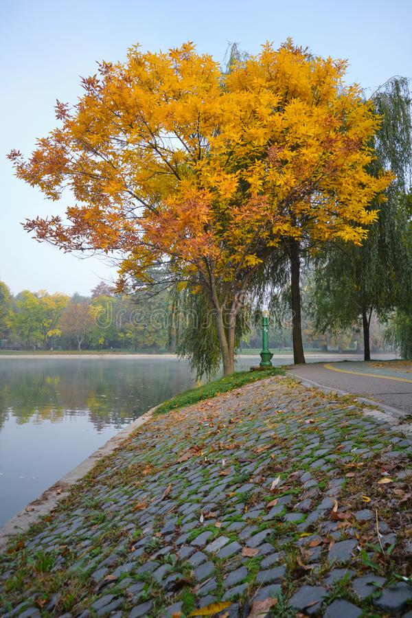 Tree with yellow and orange leaves at the edge of a lake, with cobblestone in the foreground, at Alexandru Ioan Cuza park. Tree with yellow and orange leaves at royalty free stock photography
