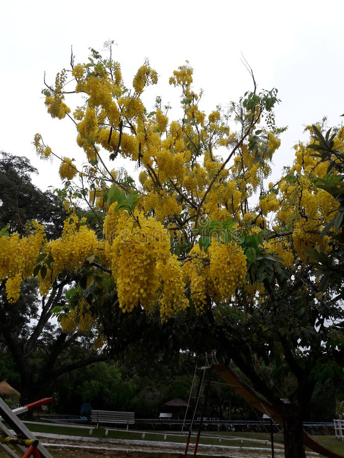 Tree yellow royalty free stock photo