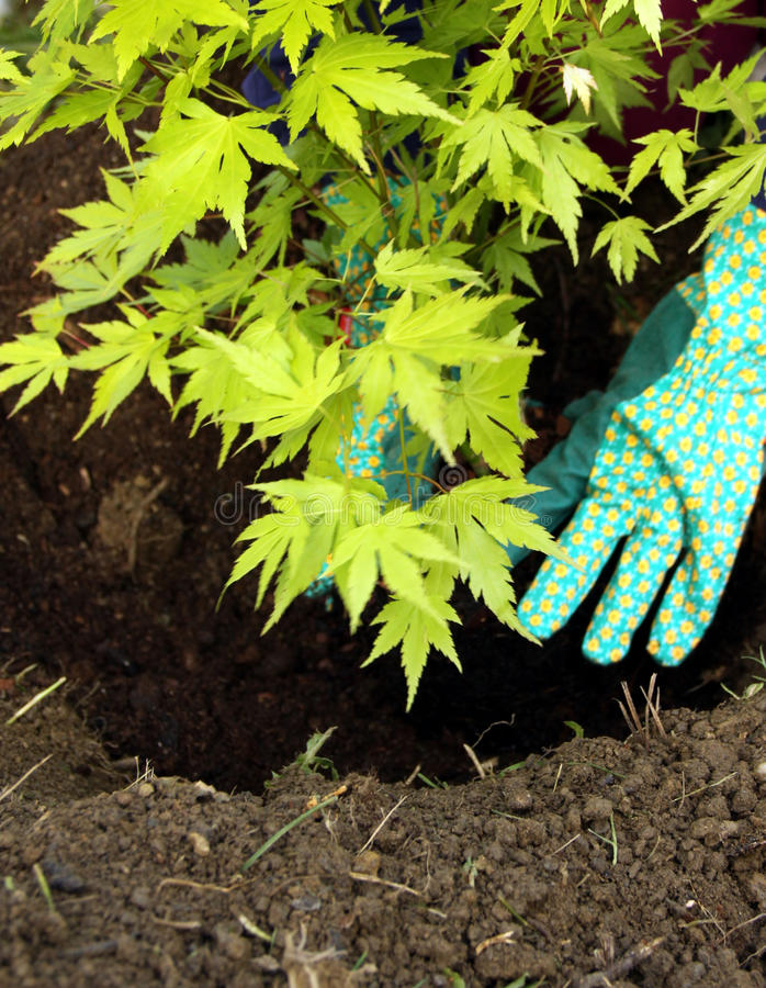 Tree young plant planting. Acer ornamental young tree planting in to the fresh garden soil with hands and gardening glove stock photos