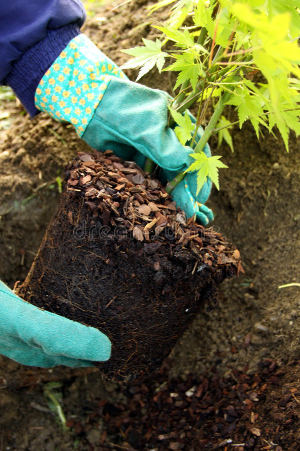 Tree young plant planting. Acer ornamental young tree planting in to the fresh garden soil with hands and gardening glove royalty free stock image