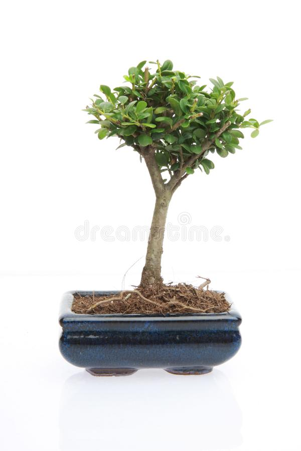 Download Tree of zen stock image. Image of small, nature, miniature - 8064511