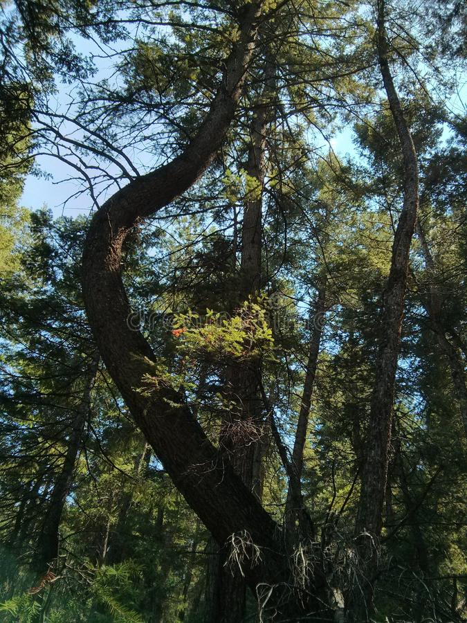 Treebent fotografia stock libera da diritti