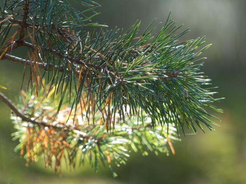 Treebranches avec de la mousse, le soleil de treeebranches de branches d'aube de lumière de plan rapproché de fin d'arbre de bran images stock