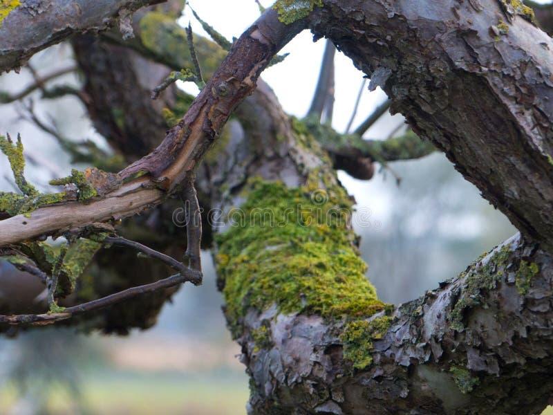 Treebranches avec de la mousse, le soleil de treeebranches de branches d'aube de lumière de plan rapproché de fin d'arbre de bran photo stock