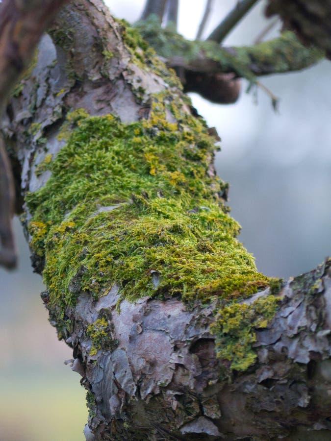 Treebranches avec de la mousse, le soleil de treeebranches de branches d'aube de lumière de plan rapproché de fin d'arbre de bran photographie stock