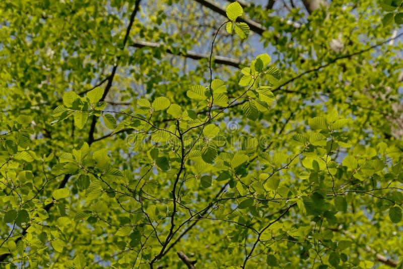 Treebranches del faggio con le foglie verdi fresche della molla fotografia stock libera da diritti