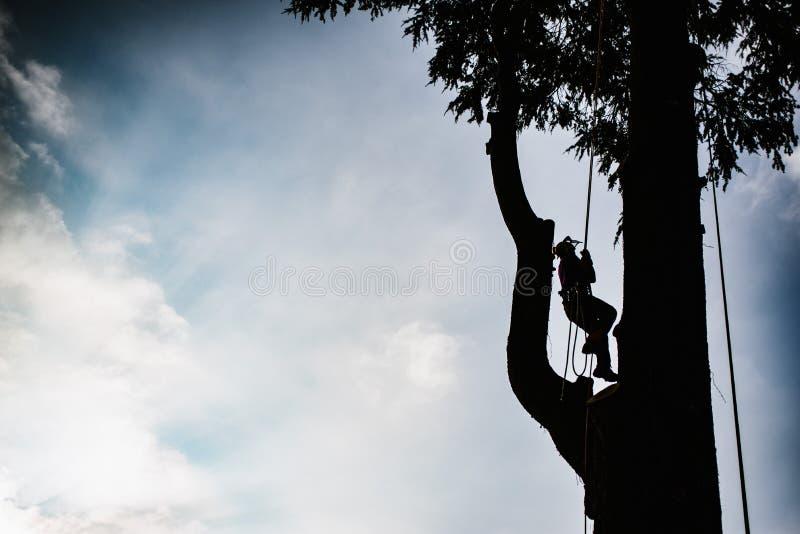 treeclimber boven boom om het snoeien en het felling uit te voeren arboricult stock fotografie