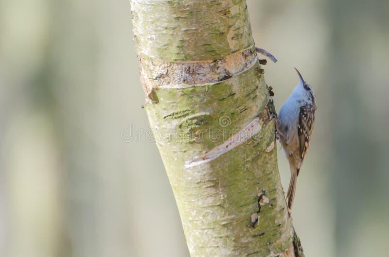 Treecreeper lizenzfreie stockfotografie