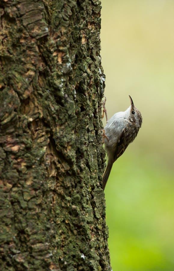 Download Treecreeper, Certhia Familiaris Stock Photo - Image: 32576422
