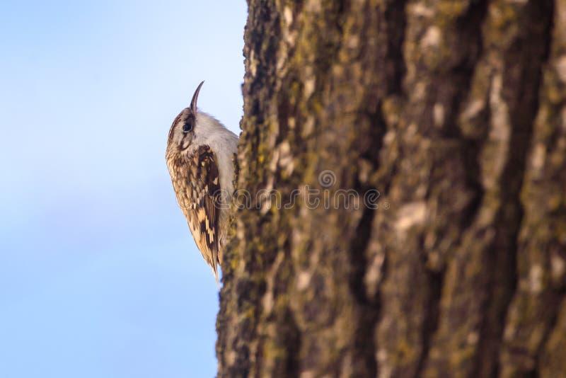 Treecreeper eurasien ou familiaris communs de Certhia de treecreeper photos stock