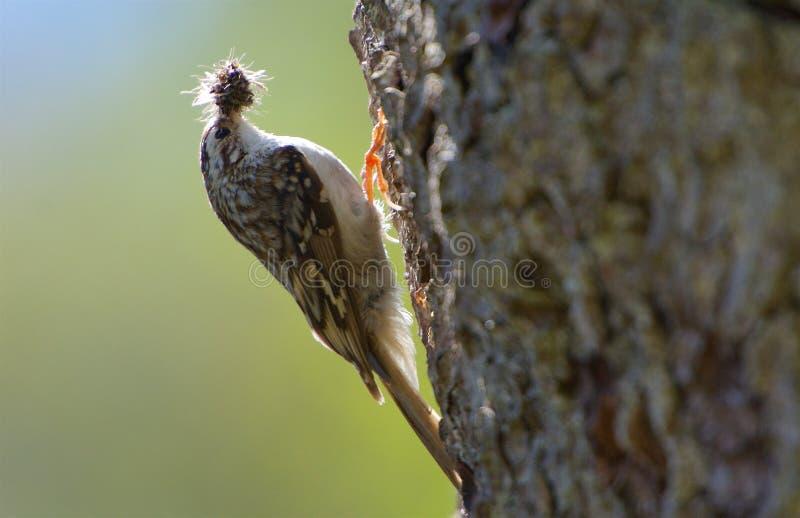 Treecreeper eurasien sur une branche sur la côte ouest en Suède images libres de droits