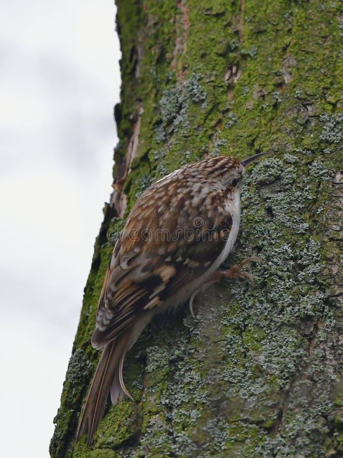 Treecreeper euro-asiático ou treecreeper comum - familiaris do Certhia fotografia de stock royalty free