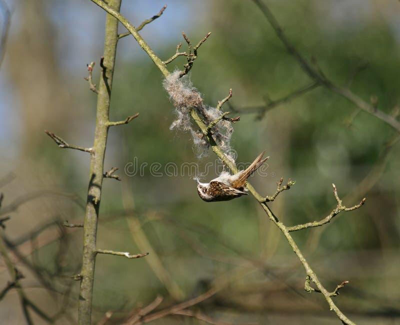 Treecreeper Gathering Nesting Material Stock Photography