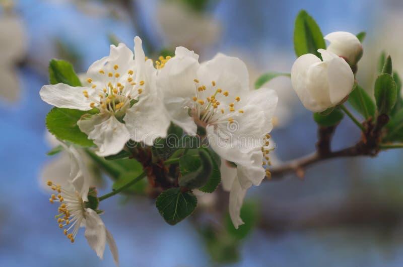 Árbol floreciente - cierre para arriba imagen de archivo