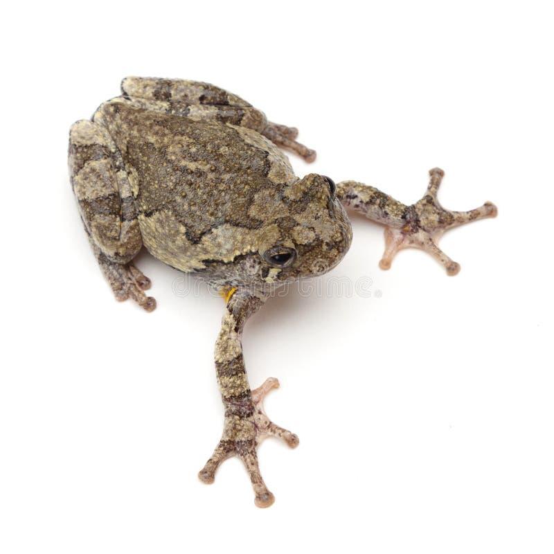 Treefrog royaltyfri bild