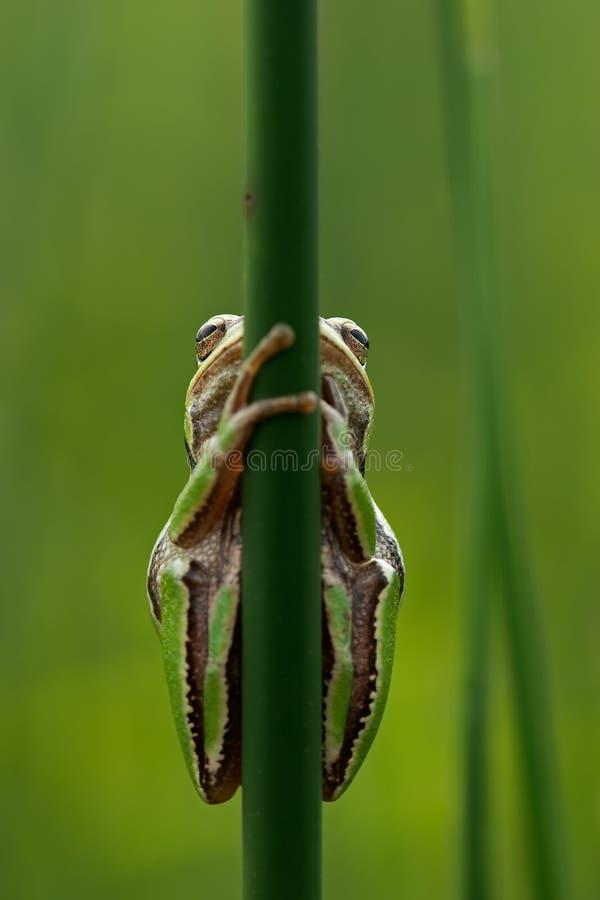 Treefrog 图库摄影