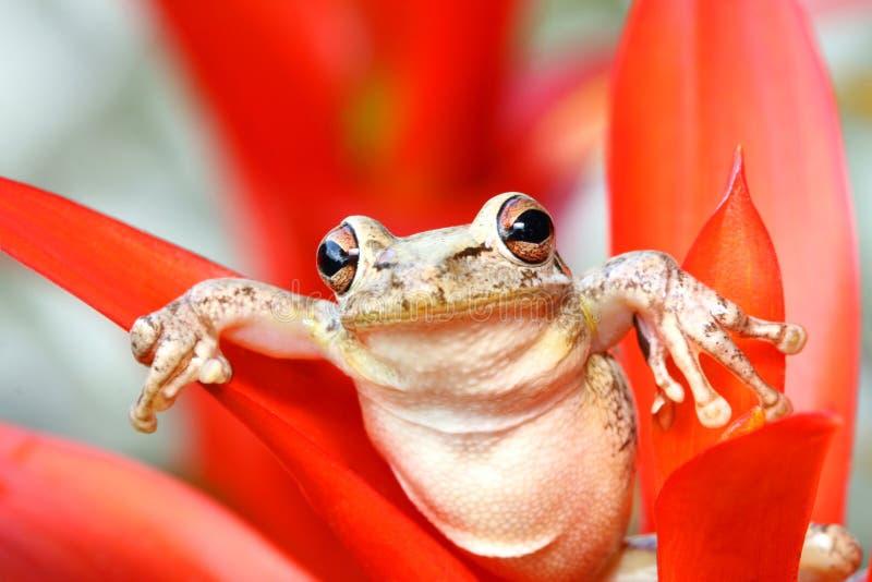 Treefrog cubano que cuelga alrededor en un bromeliad imagen de archivo