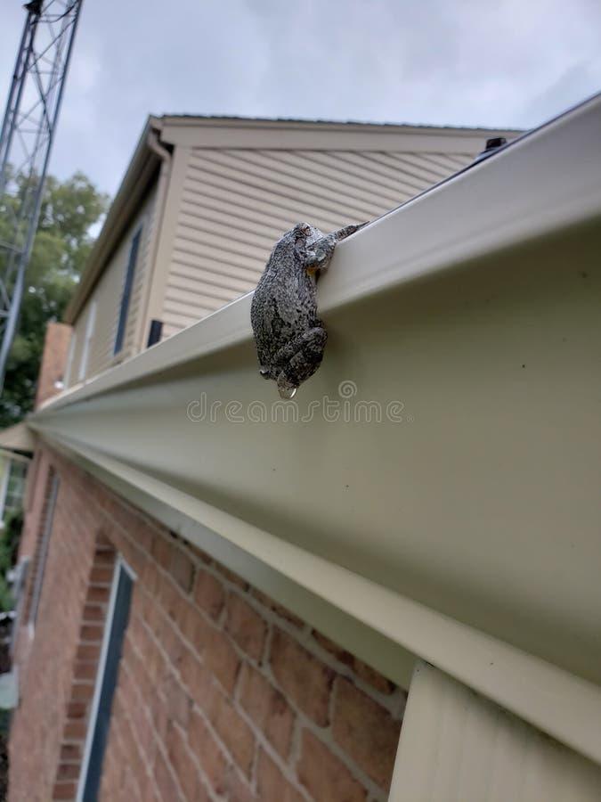 Treefrog, das von der Regengosse hängt lizenzfreie stockbilder