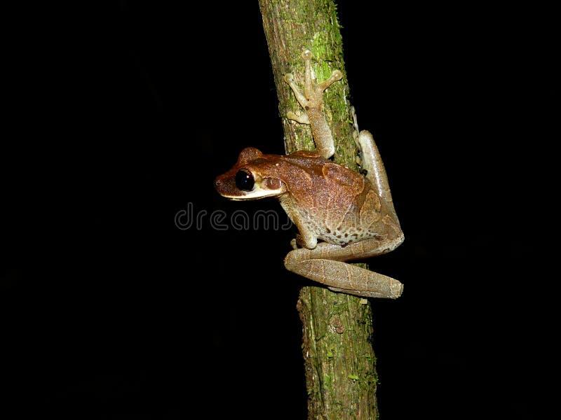 Treefrog encontrou durante um nightwalk na selva imagem de stock royalty free