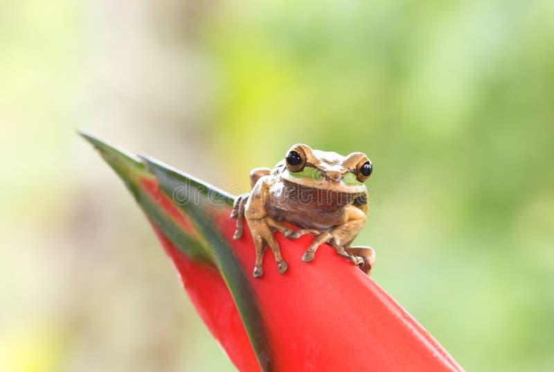 Treefrog mascherato fotografie stock libere da diritti