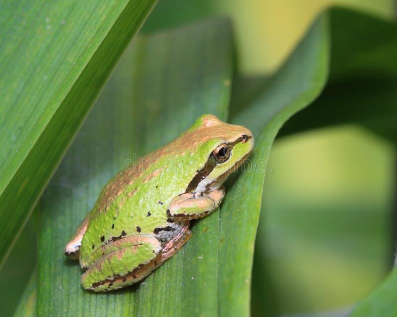 Treefrog pacífico foto de archivo libre de regalías