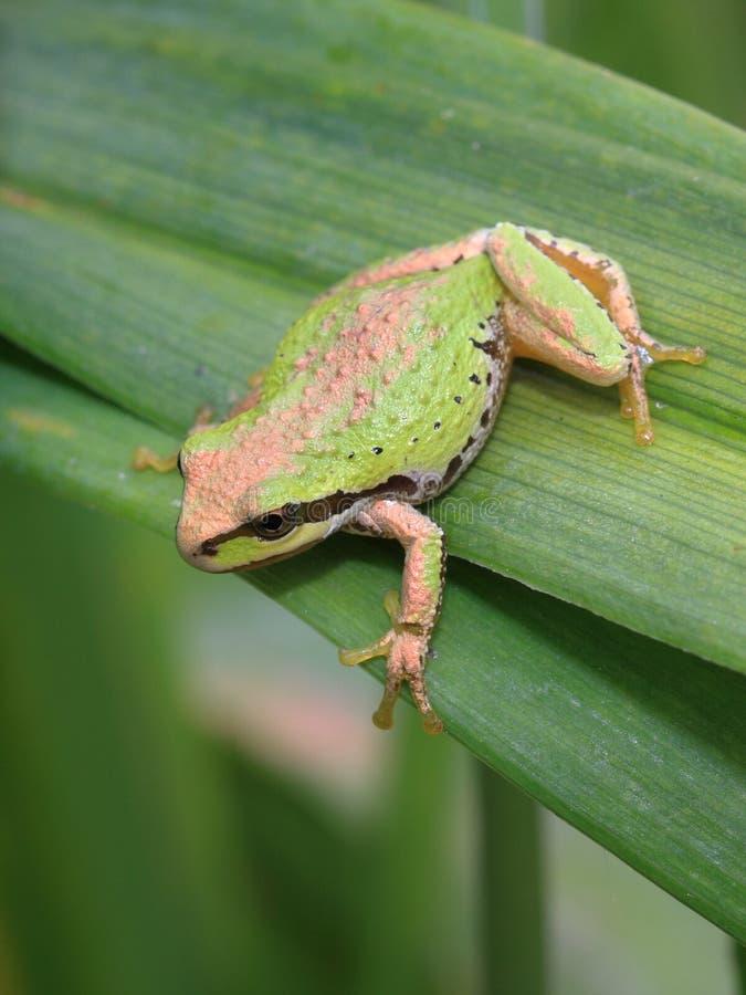 Treefrog pacífico fotos de archivo libres de regalías